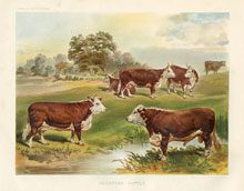 Dairy Farming Prints - Cattle (No. 22210004)