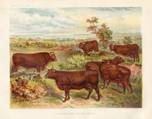 Dairy Farming Prints - Cattle (No. 22210005)