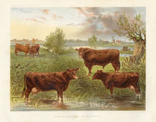 Dairy Farming Prints - Cattle (No. 22210007)