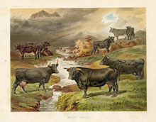 Dairy Farming Prints - Cattle (No. 22210009)