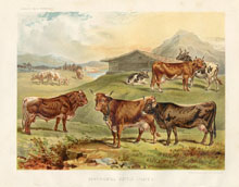 Dairy Farming Prints - Cattle (No. 22210010)