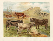 Dairy Farming Prints - Cattle (No. 22210011)