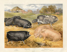 Dairy Farming Prints - Pigs (No. 22210022)