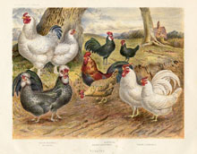 Dairy Farming Prints - Poultry (No. 22210023)