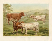 Dairy Farming Prints - Cattle (No. 22210024)
