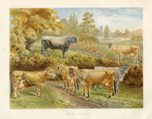 Dairy Farming Prints - Cattle (No. 22210025)