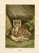 Mammal Prints - Tiger (No. 22240002)