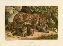 Mammal Prints - Leopard (No. 22240003)