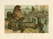 Mammal Prints - Sea Lion (No. 22240005)
