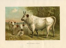 Mammal Prints - Cattle (No. 22240008)