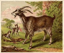 Mammal Prints - Goat (No. 22260004)