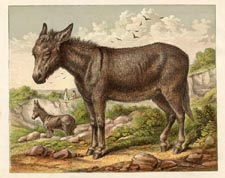 Mammal Prints - Donkey (No. 22260005)