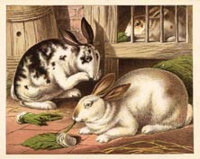Mammal Prints - Rabbits (No. 22260008)
