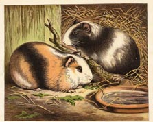 Mammal Prints - Guinea Pigs (No. 22260009)