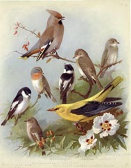 Golden Oriole Print (No. 22280014)