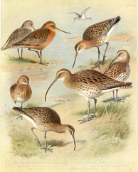 Curlew Print (No. 22280069)