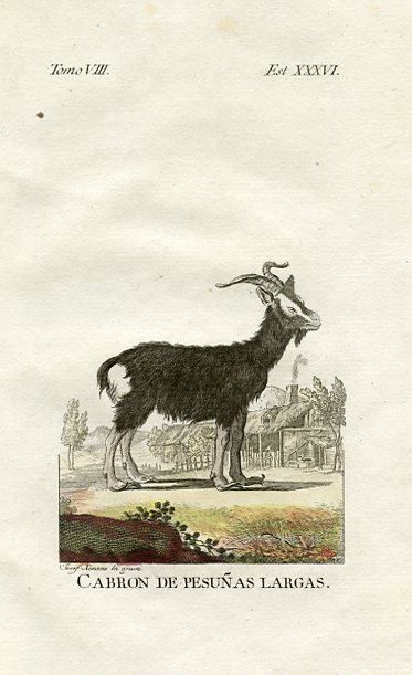 Goat with Large Hooves