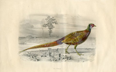 Bird Prints - Pheasant (No. 22400002)