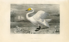 Bird Prints - Swan (No. 22400006)