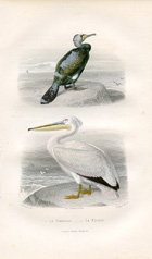 Bird Prints - Pelican (No. 22400007)