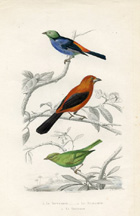 Bird Prints - Tanager (No. 22400012)