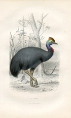 Bird Prints - Cassowary (No. 22400017)