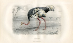 Bird Prints - Ostrich (No. 22400018)