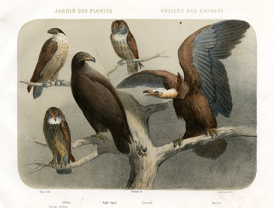 Falcon, Eagle, Owl, Vulture
