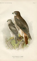 Bird - Hawk Print (No. 22540007)