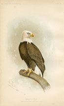 Bird - Eagle Print (No. 22540014)