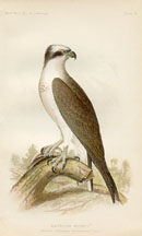 Bird - Osprey Print (No. 22540018)