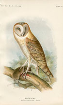 Bird - Owl Print (No. 22540019)