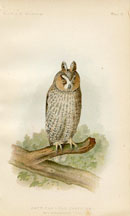 Bird - Owl Print (No. 22540020)
