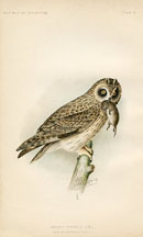 Bird - Owl Print (No. 22540021)