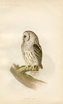 Bird - Owl Print (No. 22540022)