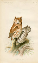 Bird - Owl Print (No. 22540023)