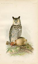 Bird - Owl Print (No. 22540024)