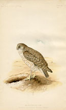 Bird - Owl Print (No. 22540025)