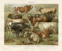 German Nature Prints - Cattle (No. 61310201)