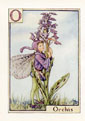 Flower Fairy Print - Orchis (No. 70780015)